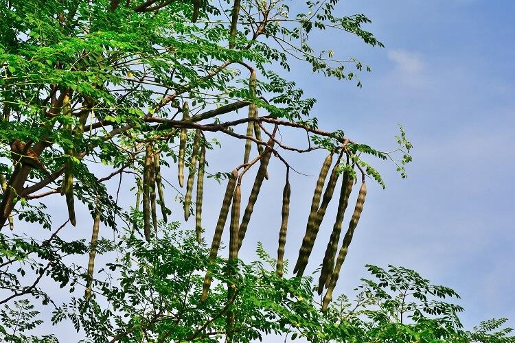 moringa tree with pods